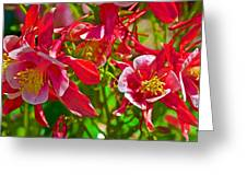 Red And White Columbine At Pilgrim Place In Claremont-california Greeting Card
