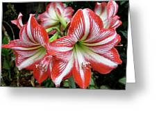 Red And White Lilies Greeting Card