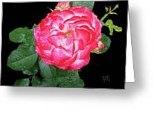 Red And White Rose In Rain Greeting Card
