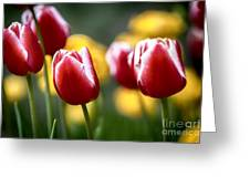Red And White Tulips Large Canvas Art, Canvas Print, Large Art, Large Wall Decor, Home Decor Greeting Card
