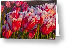 Red And White Tulips Greeting Card