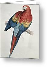 Red And Yellow Macaw  Greeting Card