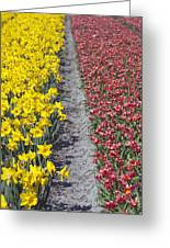 Red And Yellow Tulip Fields Greeting Card