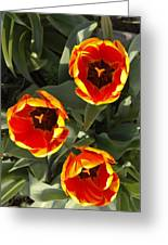 Red And Yellow Tulip Trio    Spring  Indiana Greeting Card