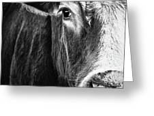 Red Angus In Black And White  Greeting Card