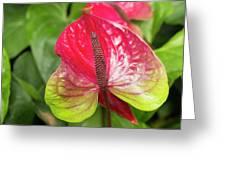 Red Anthurium Flower Greeting Card