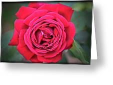 Red As A Rose  Greeting Card