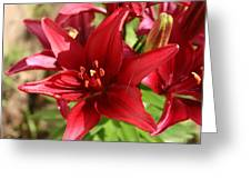 Red Asian Lilly Greeting Card