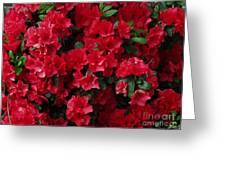 Red Azalea Blooms Greeting Card