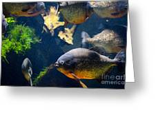 Red Bellied Piranha Fishes Greeting Card