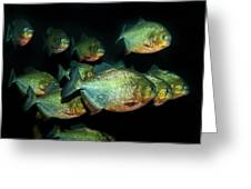 Red-bellied Piranha Greeting Card