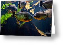 Red Bellied Piranha Or Red Piranha Greeting Card