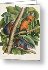 Red Bellied Squirrel Greeting Card by John James Audubon