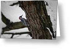 Red Bellied Woodpecker No 2 Greeting Card