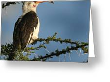 Red Bill Hornbill Greeting Card