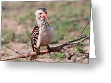 Red Billed Hornbill Greeting Card