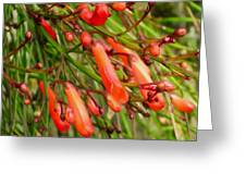 Red Blossoms Of A Firecracker Plant Greeting Card