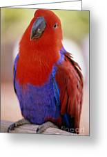 Red Blue Macaw Greeting Card