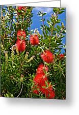 Red Bottlebrush At Pilgrim Place In Claremont-california Greeting Card