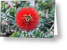 Red Bottlebrush Greeting Card