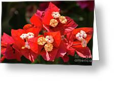 Red Bougainvillea  Greeting Card