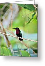 Red Breasted Humming Bird  Greeting Card