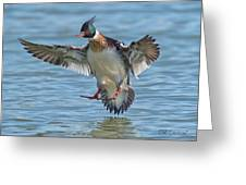 Red-breasted Merganser Landing Greeting Card