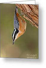 Red-breasted Nuthatch Upside Down Greeting Card
