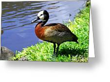 Red Breasted Wood Duck Greeting Card