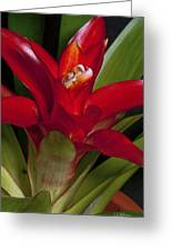 Red Bromiliad Greeting Card