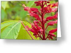 Red Buckeye Greeting Card