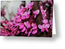 Red Bud 2011-3 Greeting Card