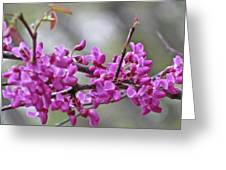 Red Bud Blossoms Greeting Card