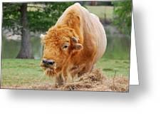 Red Buffalo Greeting Card