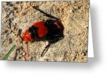 Red Burrowing Insect Greeting Card