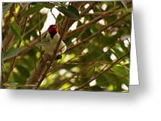 Red-capped Cardinal Digital Oil Greeting Card