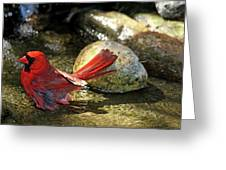 Red Cardinal Bathing Greeting Card