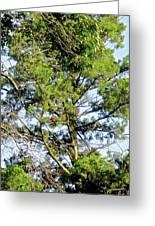 Red Cardinal In Tree Greeting Card