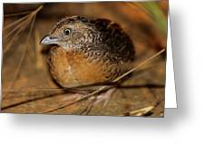 Red-chested Button-quail Greeting Card