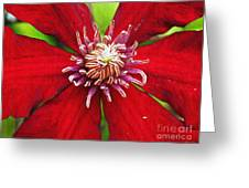 Red Clematis Greeting Card