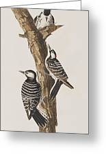 Red-cockaded Woodpecker Greeting Card