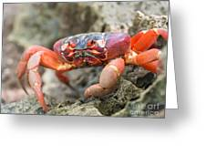 Red Crab, Christmas Island Greeting Card