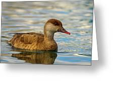 Red-crested Female Pochard Duck, Netta Rufina Greeting Card