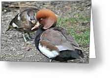 Red Crested Pochard Duck Greeting Card