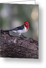 Red Crested Posing Greeting Card