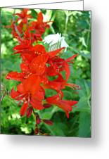 Red Crocosmia Lucifer Greeting Card