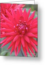 Red Dahlia Delight Greeting Card