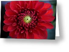 Red Dahlia Square Greeting Card