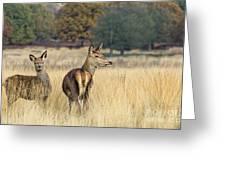 Red Deer 7 Greeting Card
