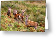 Red Deer In The Scottish Highlands Greeting Card